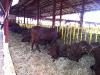 expo-ganado-vacuno