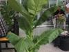 planta-tabaco