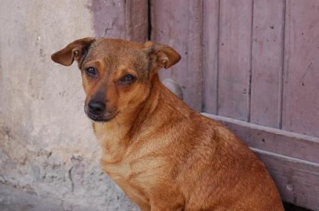 Havana dog