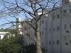 013-jpg Ceiba plantada frente a la Universidad.